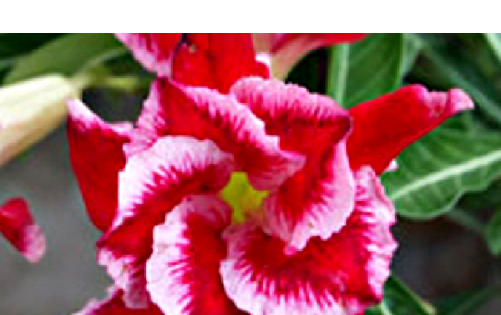Rare Adenium Obesum 'Triple Santa Clause' 5 Seeds